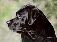 Black Lab (Ollie)