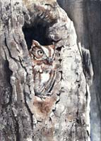 Screech Owl - Norman Bird Sanctuary